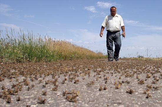 Угроза нашествия саранчи появилась в 2-х районах Ставропольского края