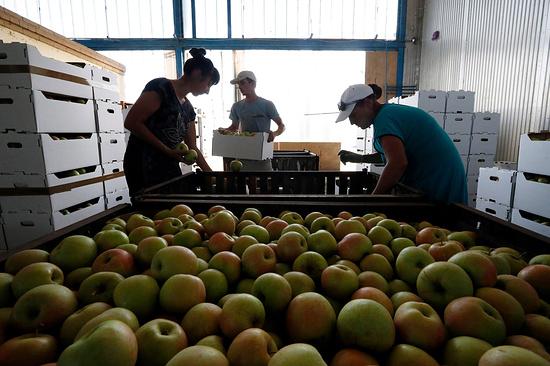 ВИнгушетии урожай яблок увеличили практически в 4 раза